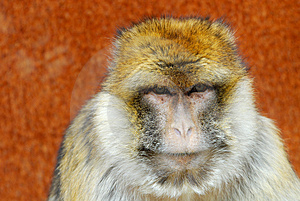Barbary Ape Royalty Free Stock Photography - Image: 4975677
