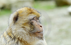 Barbary Ape Stock Images - Image: 4975724