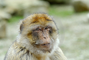 Barbary Ape Royalty Free Stock Image - Image: 4975726
