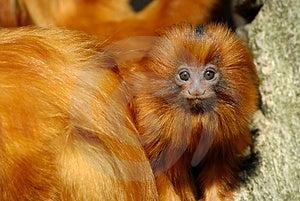 Lion Tamarin Stock Photography - Image: 4975902