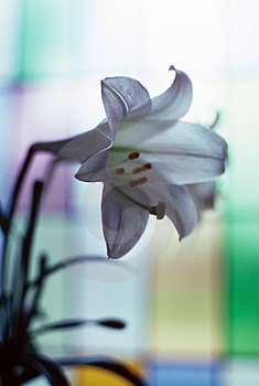 Church Lily Stock Image - Image: 4979221
