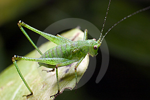 Green Grasshopper On A Leaf Stock Photo - Image: 4981160