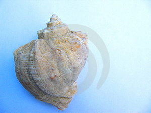 Coquille d'escargot de mer Photographie stock libre de droits
