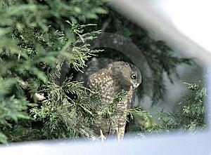 Hawk in Backyard Tree Royalty Free Stock Image