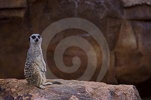 Alert meercat Royalty Free Stock Image