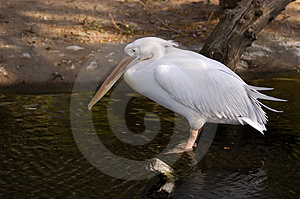 Pelican Free Stock Photography