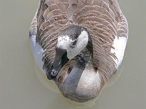 Wet Goose Stock Photography