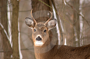 Small Buck Stock Photography