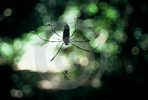 Jungle spider Royalty Free Stock Photo