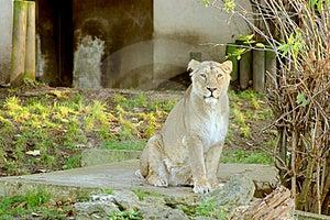 Lion Free Stock Image