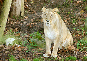 Lion Free Stock Photography