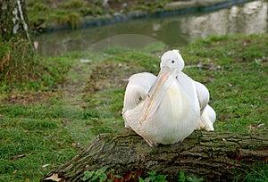 Pelican 2 Stock Image
