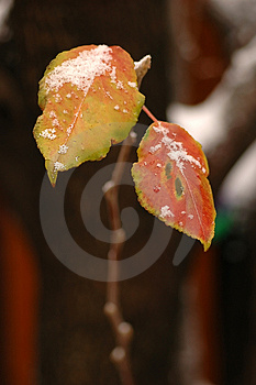 Snowy Bradford Pear Leaves Stock Photo