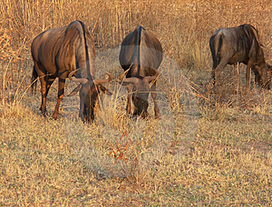 Blue Wildebeest Free Stock Photo