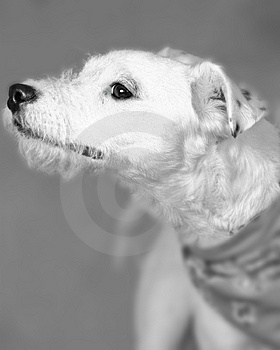 Terrier Trouble Stock Photo