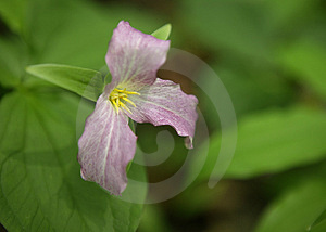 Trillium Flower In 'the Sacred Grove' Free Stock Image