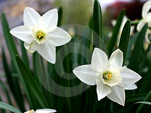 White Daffodils Royalty Free Stock Image