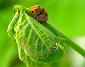 Ladybug On Leaf Free Stock Image