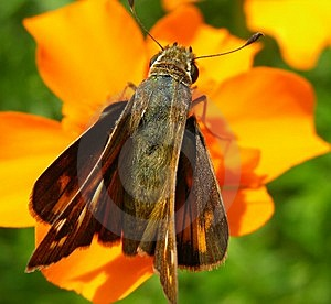 Butterfly Resting On Orange Flower Stock Photo