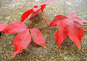 Red Ivy Free Stock Image