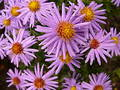 Violet daisies Free Stock Photography