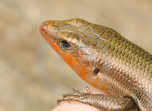 Broad-Headed Skink Stock Photos - Image: 5003743