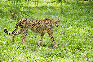 Walking Cheetah Royalty Free Stock Image - Image: 5009456