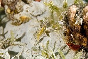 Highfin Fang Blenny (petroscirtes Mitratus) Stock Images - Image: 5012714