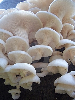 Wild Fungi Royalty Free Stock Photography - Image: 5012907