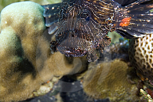 Common Lionfish (pterois Miles) Stock Images - Image: 5013104