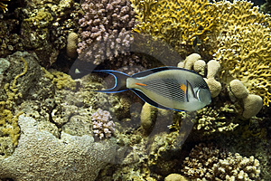 Sohal Surgeonfish (Acanthurus Sohal) Royalty Free Stock Photo - Image: 5014115