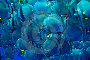Orbicular Spadefish (platax Orbicularis) Stock Photo - Image: 5014290