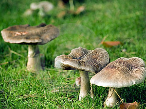Wild Fungi Royalty Free Stock Images - Image: 5015179