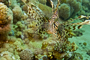 Lionfish (pterois Miles) Royalty Free Stock Image - Image: 5015426
