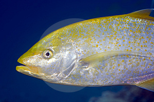 Orangespotted Trevally (carangoides Bajad) Royalty Free Stock Photography - Image: 5016597