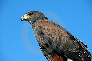 Bird Of Prey Royalty Free Stock Image - Image: 5033736