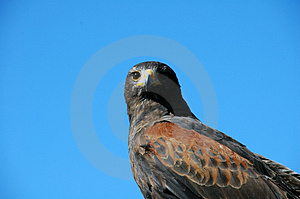 Bird Of Prey Stock Photography - Image: 5033762