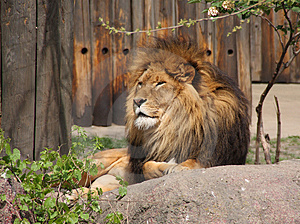 Lion Stock Image - Image: 5038691