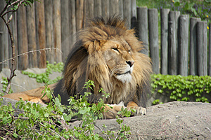 Lion Royalty Free Stock Image - Image: 5040886