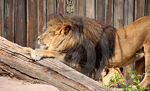 Lion Stretching Stock Photo - Image: 5040890