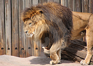Lion Stepping Royalty Free Stock Image - Image: 5040896