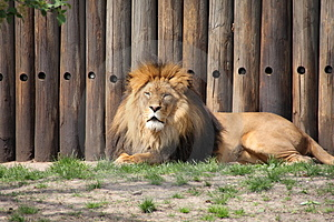 Lion Stock Images - Image: 5040924