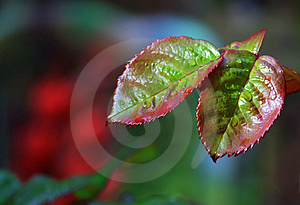 Leaves Of A Rose Royalty Free Stock Image - Image: 5048726