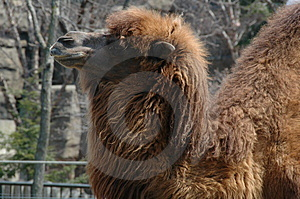Brown Camel Stock Images - Image: 5049934
