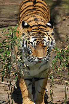 Tiger Royalty Free Stock Images - Image: 5060369