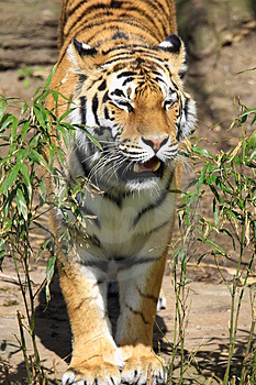 Tiger Stock Photo - Image: 5060380