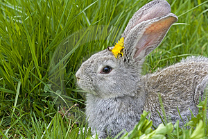 Rabbit In Grass Royalty Free Stock Photography - Image: 5061767