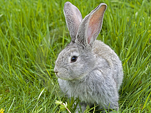 Rabbit In Grass Stock Photo - Image: 5061910