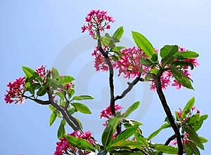 Tropical Plumeria Tree Stock Images - Image: 5064314