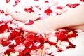 Bathing rose Stock Photography